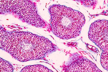 Cross section of Testis tissue under the microscope for education. Stock Photo