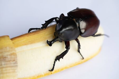 Beetles, Insects, Bugs are a group of insects form the order Coleoptera, Animal samples for education in laboratory. Stock Photo