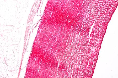 Tissu des artères et des veines sous le microscope, physiologie des artères et des veines pour l'enseignement en laboratoire.