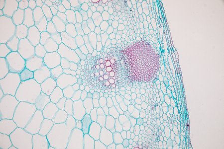 Cross-section Dicot, Monocot and Root of Plant Stem under the microscope for classroom education.