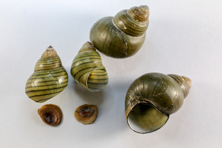 Study of the structure of Freshwater molluscs, For study in laboratory. Stock Photo