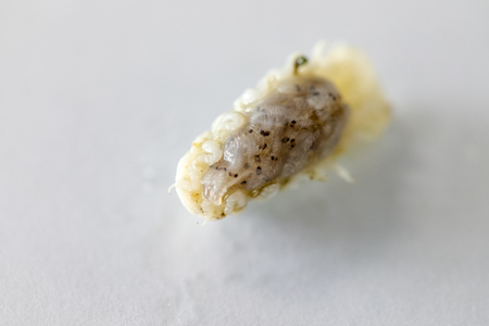 Isopoda (class Crustacea), Isopods live in the sea, in fresh water, Isopods have a chitinous exoskeleton and jointed limbs for education in Lab. Stok Fotoğraf