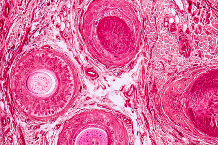 Education anatomy and Histological sample Elastic cartilage Tissue under the microscope.