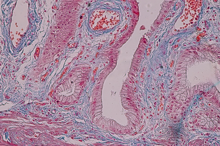 Education anatomy and Histological sample Simple columnar epithelium Tissue under the microscope.