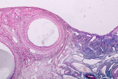 Education anatomy and Histological sample Ovary of rabbit Tissue under the microscope.