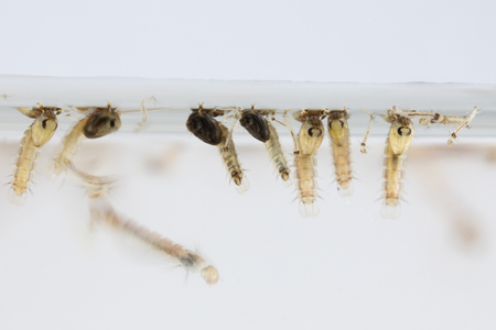 Mosquito Larva in the order Diptera, Anopheles sp. (Mosquito Larva) in the water for education. 版權商用圖片