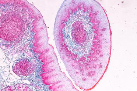 Bildung Anatomie und Physiologie der Zunge unter dem Mikroskop im Labor.