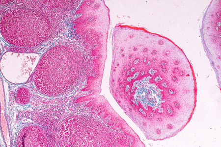 Education anatomy and physiology of Tongue under the microscopic in laboratory. Stock Photo