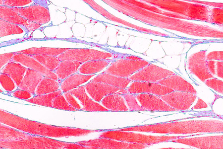 Education anatomy and physiology of Tongue under the microscopic in laboratory.