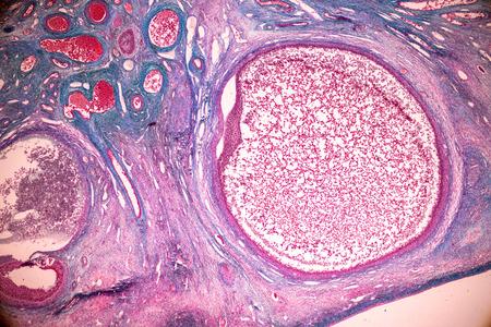 Étudiant apprenant l'anatomie et la physiologie de l'ovaire au microscope en laboratoire.