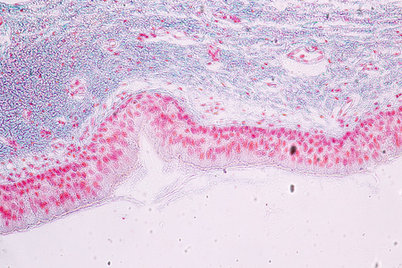 Learning anatomy and physiology of Pseudostratified columnar epithellum under the microscopic in laboratory. tissue,epithelium,columnar,biology,microscope,epithelial,microscopic,cells,cell, Banque d'images