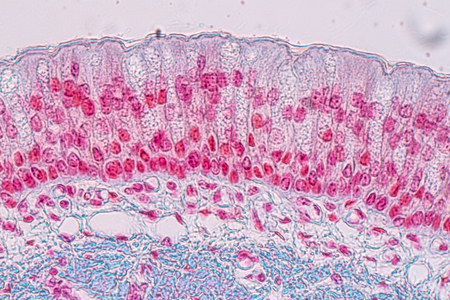 Learning anatomy and physiology of Pseudostratified columnar epithellum under the microscopic in laboratory. tissue,epithelium,columnar,biology,microscope,epithelial,microscopic,cells,cell,