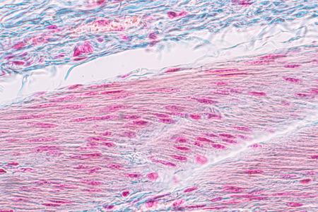 Apprentissage de l'anatomie et de la physiologie de l'épithelle cylindrique pseudostratifié au microscope en laboratoire. Epithelium,tissu,colonne,biologie,microscope,épithélial,microscopique,cellules,cellule,