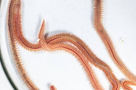 Sand Worm (Perinereis sp.) is the same species as sea worms (Polychaete), Living in a beach area with relatively shallow water levels for education in laboratory. 版權商用圖片