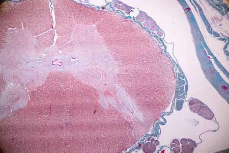 Education anatomy and Histological sample Spinal cord Tissue under the microscope.