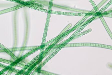 Study of Oscillatoria is a genus of filamentous cyanobacterium, oscillation in its movement under the microscope. Stock Photo