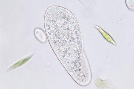 Paramecium caudatum es un género de protozoos ciliados unicelulares y bacterias bajo el microscopio. Foto de archivo