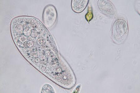 Paramecium caudatum is a genus of unicellular ciliated protozoan and Bacterium under the microscope.