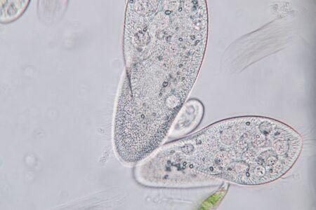 Paramecium caudatum est un genre de protozoaire et de bactérie ciliés unicellulaires au microscope. Banque d'images