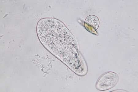 Paramecium caudatum is a genus of unicellular ciliated protozoan and Bacterium under the microscope.