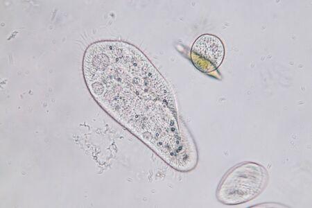 Paramecium caudatum ist eine Gattung von einzelligen Flimmer-Protozoen und Bakterium unter dem Mikroskop.