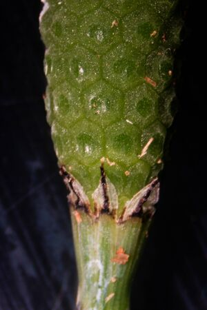 Equisetum (horsetail, snake grass, puzzlegrass) is the only living genus in Equisetaceae for education in laboratory. 版權商用圖片