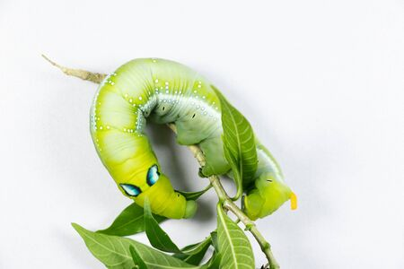 Beautiful of Daphnis nerii, Pupa Stage or Chrysalis Stage.
