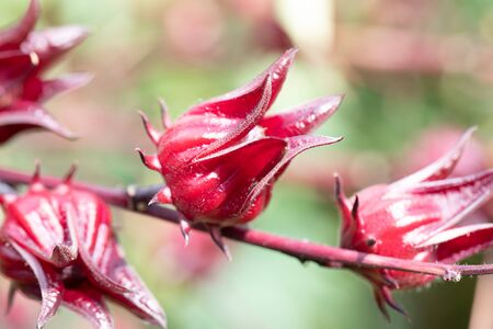 Roselle (Hibiscus sabdariffa) is a species of Hibiscus in nature.