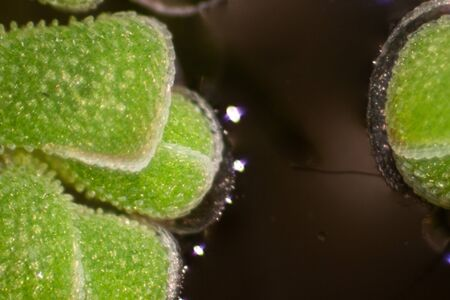 Study of Mosquito fern(genus Azolla) is species of aquatic ferns under the microscope.