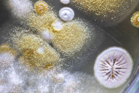 Moho Hermoso, Colonia de Características de Hongos (Moho) en placa de medio de cultivo de microbiología de laboratorio. Foto de archivo