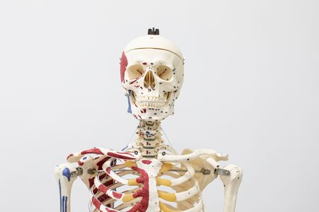 Study of the physiology of the Model and the parts of the human Model in the laboratory. Stock Photo