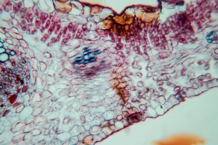 Querschnittsblatt Pflanze unter dem Mikroskop für den Unterricht im Klassenzimmer.