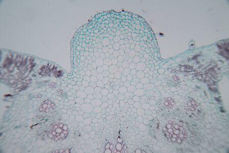 Feuille de section transversale Plante sous le microscope pour l'enseignement en classe.