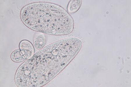 Paramecium caudatum is a genus of unicellular ciliated protozoan and Bacterium under the microscope. Banque d'images