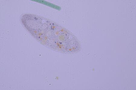 Paramecium caudatum is a genus of unicellular ciliated protozoan and Bacterium under the microscope. Stock Photo