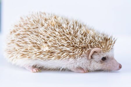 Beautiful hedgehog on a white background, A hedgehog is any of the spiny mammals.