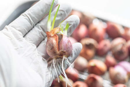 Seeding onion roots to study mitosis cells in Laboratory.