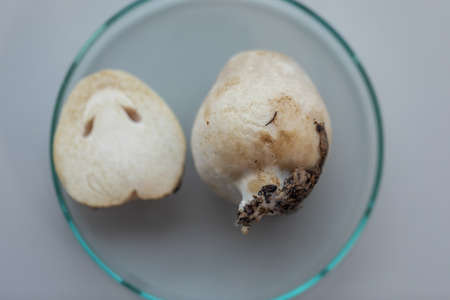 Volvariella volvacea (also known as paddy straw mushroom or straw mushroom) is a species of edible mushroom cultivated for education in Lab.