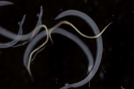 Schistosoma is a genus of trematodes