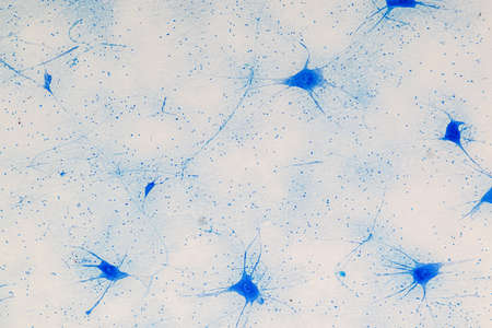 Education Spinal cord and Motor Neuron under the microscope in Lab. Banque d'images