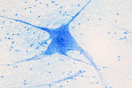 Education Spinal cord and Motor Neuron under the microscope in Lab. Foto de archivo