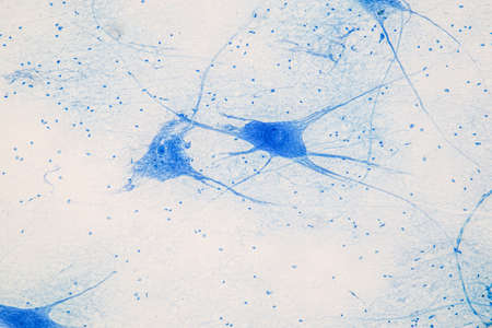 Education Spinal cord  and Motor Neuron under the microscope in Lab. 版權商用圖片