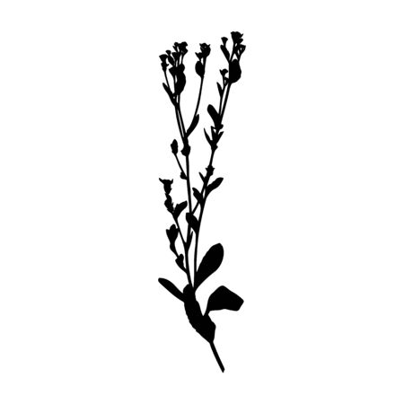 Silhouette of a plant branch tansy balsamic. Vector monochrome floral illustration of herbs isolated on white background. Illustration
