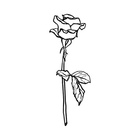 Rose Flower line drawing. Vector outline blossom in a Trendy Minimalist Style. Çizim