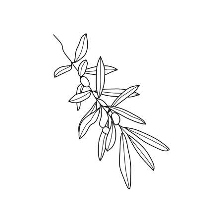 Olive Branch with leaves and Fruit. Outline Botanical leaves In a Modern Minimalist Style.