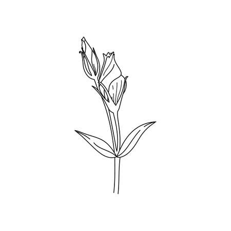 Lisianthus Flowers bud with leaves. Outline Eustoma In a Modern Minimalist Style. Vector Floral Illustration. For printing on t-shirt, Web Design, beauty Salons, Posters Illustration