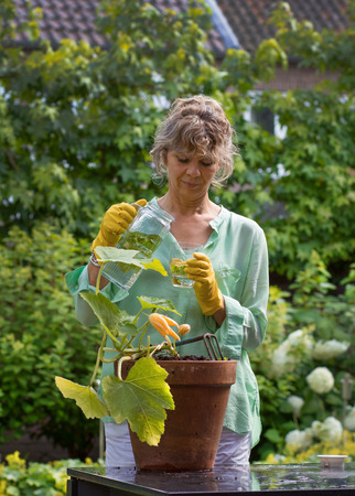 vegetable marrow: Pretty woman working in the garden, cultivates special vegetable marrow