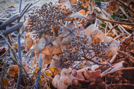 icily: The winter is coming! Nice closups dry Hortensia in all covered with white hoarfrost.