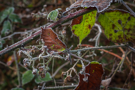 eyesore: The winter is coming! Twigs of blackberry covered with white hoarfost.