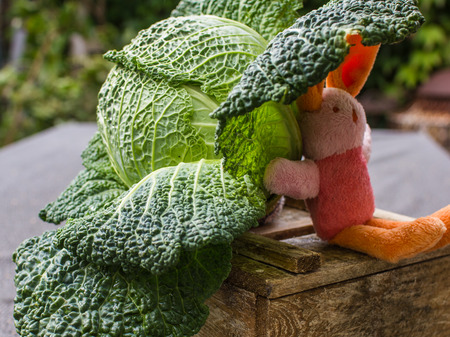 Green cabbage in garden with cute toy pink, orange little hare Stock Photo